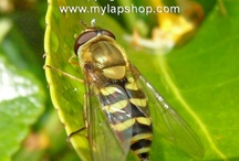 Bees, Hoverflies And Wasps / #Bees, #Wasps and #Hover-flies / by My Lap Shop Publishers