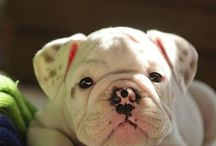 English Bulldogs / by Jami Page