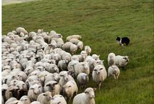 Sheepdoggin' / All things sheep, Border Collies, and herding ♥ / by Rachel Ritland