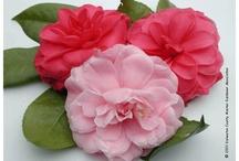 ~Beautiful Camellias / by Camille Macias Palomino