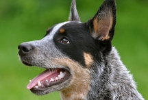 Hooray for Heelers / by Becky Shafer
