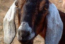 Floppy-Earred Goats / by Allison Sparks
