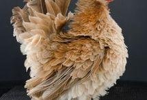Chickens / by Jeri Hobbs