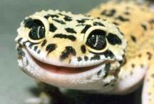 Leopard Gecko Info. / by Jessica Burgess ♥