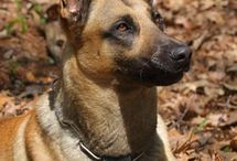 Belgian Malinois / by RondaLee