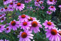 What's blooming? / Plants and flowers in my yard   / by Sunni Ashforth