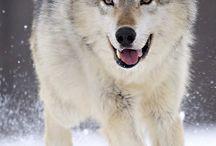 wǫɭvęş, ɭįɠęŗş, ŗąvęŋş,ęţç. / My most favorite animals of all! / by BlkBeltWarrior