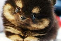 Pomeranian  / by Christine Carrier