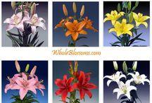 Wholesale Lilies  / by WholeBlossoms Wholesale Wedding Flowers