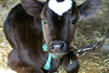 cows / by Denise Wright