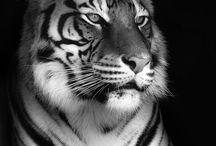 big cats / by CHARMAINE CHAPLIN