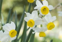 Daffodils / Narcissi for pot displays, mixed borders or naturalising in lawns / by BBC Gardeners' World Magazine