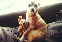 Chihuahuas / by Lorie Thomas