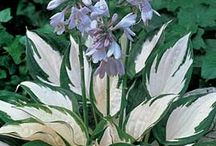 Hostas and Other Shade Plants / by Barb Goggins