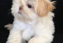 Cute Dog :: Shih Tzu / by Miriam Spain