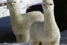 lazy llamas / LLAMA llove! / by Kristin D