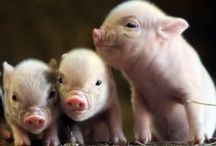 My love of pigs ! / by Janet Valencia
