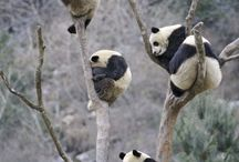 Pandas! Anything Pandas! / by Shannon Glass