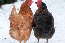 Chickens / by Debra Almache