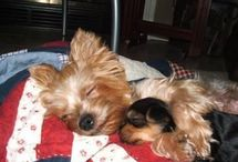Yorkies / by Amber Partie