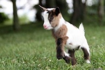 Nigerian Dwarf Goats / Anything and everything about Nigerian Dwarf Goats!! / by Sierra Russell