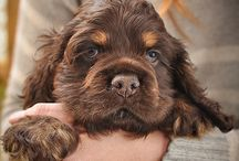 Cocker Spaniels / by Barbara Cotters