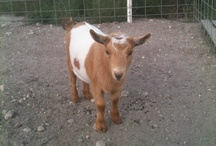 Homesteading - Goats / by Madolyn Veerkamp