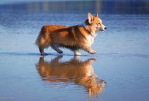 Corgis On The Beach! / by Daily Corgi