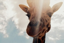Giraffe / by Alli Worthington
