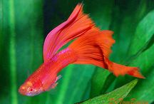 Guppies / Guppies originally lived in the Yucatan in Southern Mexico, but Guppies now live in aquariums all over the world. To see more Aquarium Guppies click on a link below one of the pictures on this page or go to ... http://www.AquariumFish.net/catalog_pages/livebearer_guppies/guppies_table.htm#top2 / by AquariumFish .net