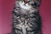 Siberian Cats and Kittens / by Jeannette Jones