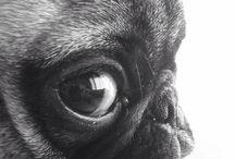 Pugs / by Katelyn Lee