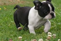 Frenchtons & French Bulldogs / by Laurel Vlcek
