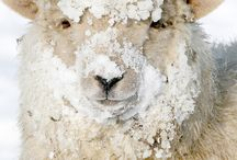 Animals - Sheep & Goats / by Tracy Lemaster
