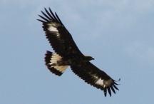 Eagles in Albarracin, Spain / by Calogero Mira (CMTravelAnd)