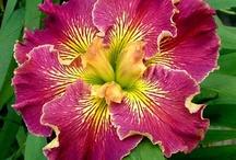 Flower WL Iris' / by Sandy Hilliard