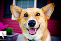 Corgi Love .:. Dogs Fit For A Queen / Corgis - so lovable that even the Queen insists on keeping them ;) / by Brittany Hull