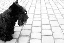 Scottish terriers / by Susan Skaggs