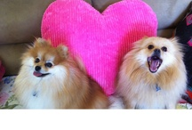 Leo & Oliver Isola my Pomeranians  / my two adopted gifts from God... POM power! / by Angelina Isola