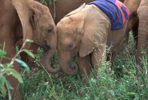 your favourite pictures of the orphans / We have our favorite pictures of the orphans and we're sure you do too. Share with us your favorite images, we'd love to know! / by David Sheldrick Wildlife Trust