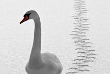 I am a Snow Goose-Turtle Clan / by Diana Dill-Whitaker
