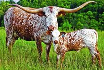 Cows; Bulls; Calves...heck the whole herd! / by Janelle Tyler