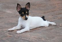 Toy Fox Terriers / by Mary Grain
