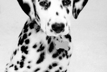 Dalmations / by Amy Johnson