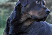 rottweilers / by Laure Swain