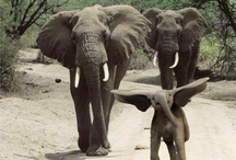 Elephants ... gentle giants ... love them / by Sharon Clemmons