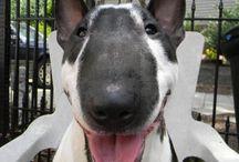 Bull Terrier love / by Anna Ryan