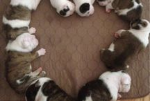 English Bulldogs  / by Kristine Wakefield