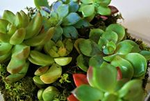 Succulents and terrariums / This has become my newest craze..succulents have (sucked) me in.  Pardon the pun....I am intrigued and looking forward to my new venture with succulents. / by Elaine Skelton Maye
