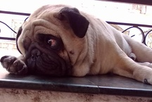 I love smooshed face dogs / by Belinda Nixon